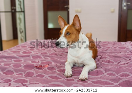 Basenji dog is lying on the bed-spread that is torn out by pet - stock photo
