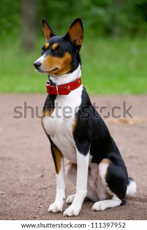 Basenji-dog on the grass - stock photo