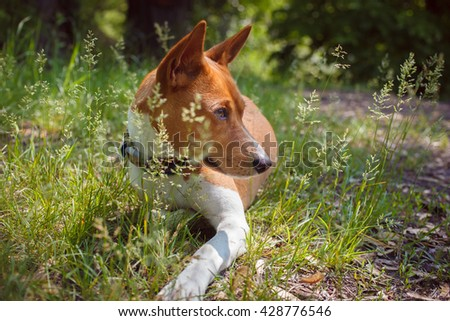 Basenji dog walking in the park. Dog in the shade of trees. Close-up portrait. Summer sunny day