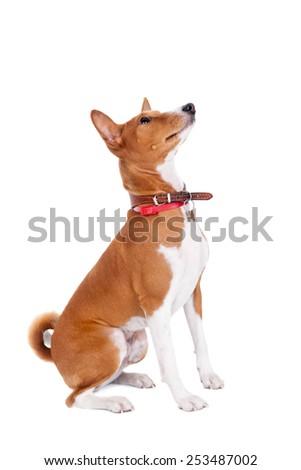 Basenji dog, 2 years old, isolated on white - stock photo