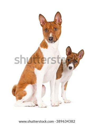 Basenji dogs isolated on white background. Side view, sitting.
