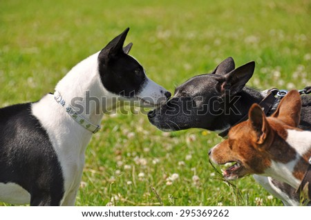 basenji dogs sniffing each other in the nose  - stock photo