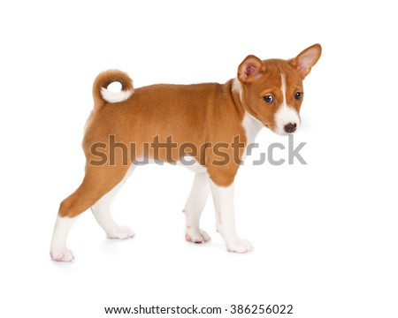 Basenji puppy isolated on white background. Side view, standing.