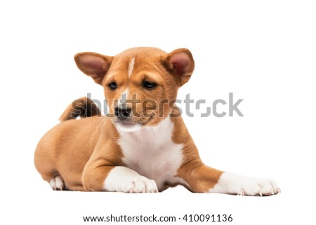 Basenji puppy laying looking like a sphinx - stock photo