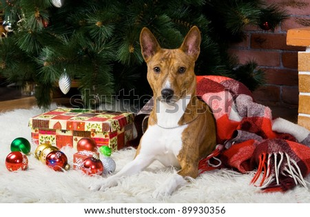 Basenji with christmass-tree decorations.
