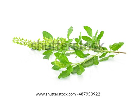Basil flower, stalk and leaves isolated on a white