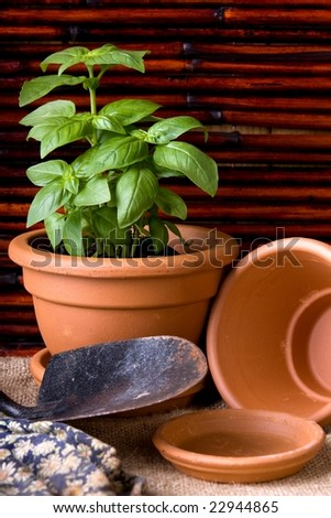 basil herbs potted in terracotta pots with gardening tools