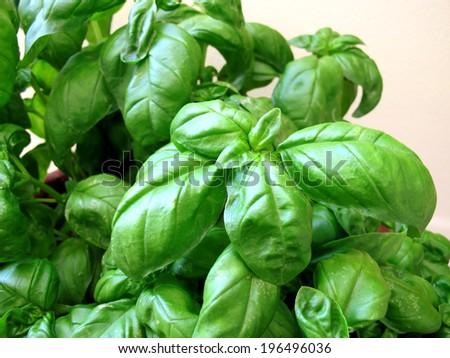 Basil in pot - stock photo