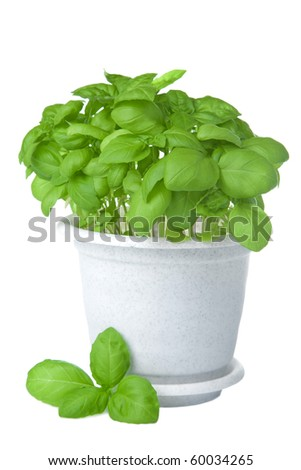 basil in pot isolated - stock photo
