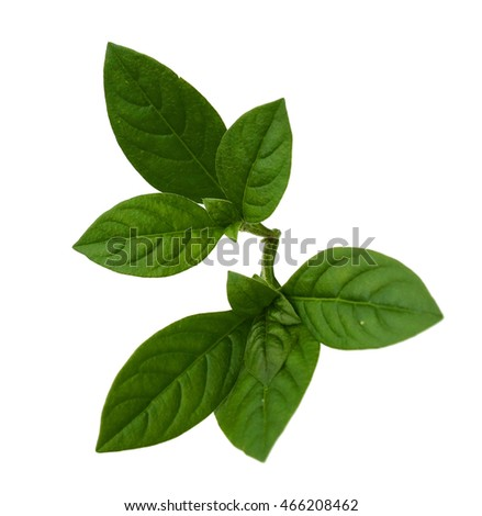 Basil isolated on white background.