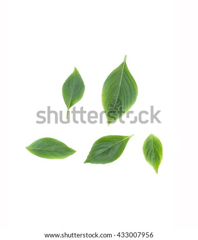 basil leaf fresh have medicinal properties  healthy body on white background  - stock photo