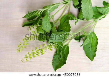 Basil leaf herb (Other names are Ocimum basilicum, great basil, Saint-Joseph's-wort, Basil Lamiaceae, thyrsiflora, lemon basil, citriodorum, holy basil, Ocimum, tenuiflorum)  - stock photo