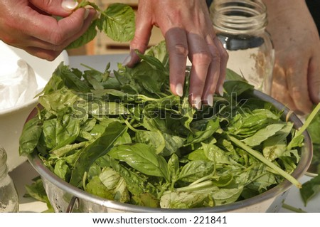 Basil leaves in a strainer - stock photo