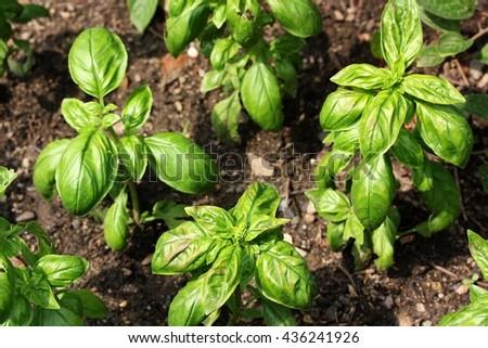 Basil (Ocimum basilicum), also called great basil or Saint-Joseph's-wort, culinary herb of the family Lamiaceae - stock photo