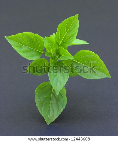Basil on Black background