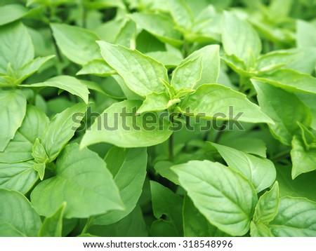 basil plants at an organic vegetable garden - stock photo