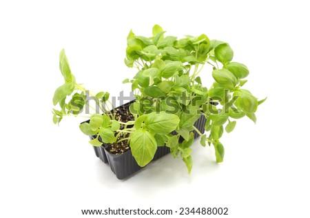Basil seedlings isolated on white - stock photo