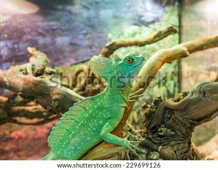 Basiliscus, Jesus Lizard, Basilisk lizard, Basiliscus plumifrons. Exotic lizard in the terrarium. Lizard sitting on a branch. Terrarium with beautiful lizards. Pets exotic Pets, reptiles. - stock photo