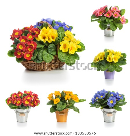 Basket and bucket with spring primula flowers, collection on white background - stock photo