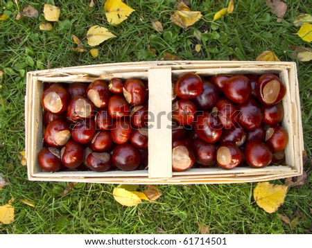 basket full of chestnuts in the garden - stock photo