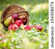 Basket full of fresh juicy apples scattered in a grass. Autumn harvest concept - stock photo