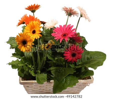 Basket Gerbera Daisy plants - stock photo