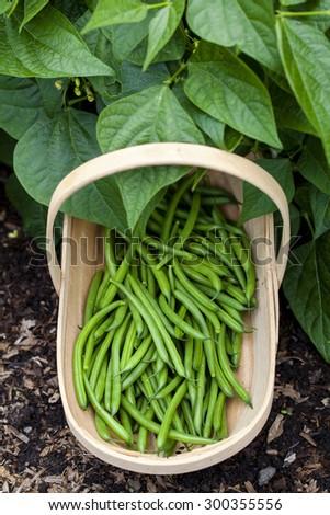 Basket of freshly picked runner beans - stock photo