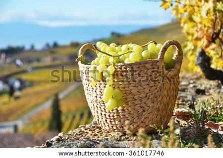 Basket of grapes. Lavaux region, Switzerland - stock photo