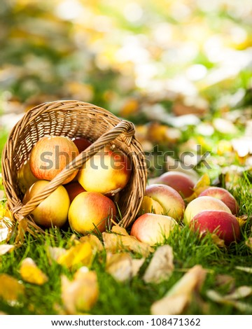 Basket of red juicy apples scattered in a grass. Autumn harvest concept