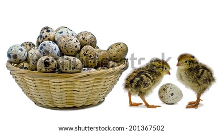 Basket with eggs of quail and just hatched nestlings are waiting for siblings - stock photo