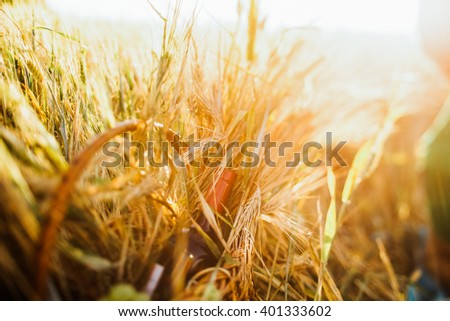 Basket with grapes and a bottle of wine is in the rye field, sunset - stock photo
