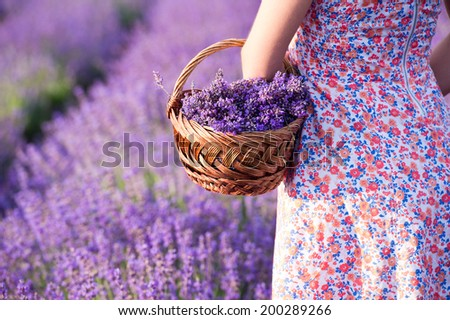 basket with lavender flowers in  woman hands - stock photo