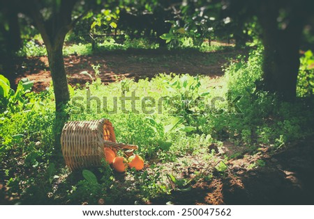 Basket with oranges on green grass in sunshine. retro faded style image - stock photo