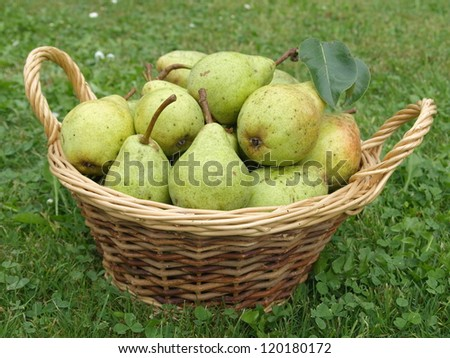 basket with picked pears - stock photo