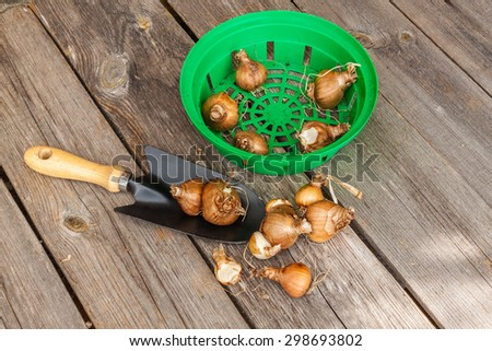 Baskets for planting bulbs with bulbs of daffodils and garden shovel on an old wooden table - stock photo
