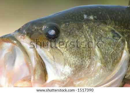 Bass Close-Up - stock photo