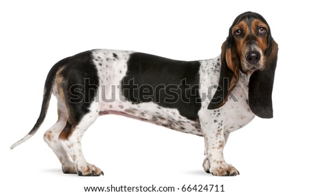 Basset Artesien Normand dog, 11 months old, standing in front of white background - stock photo