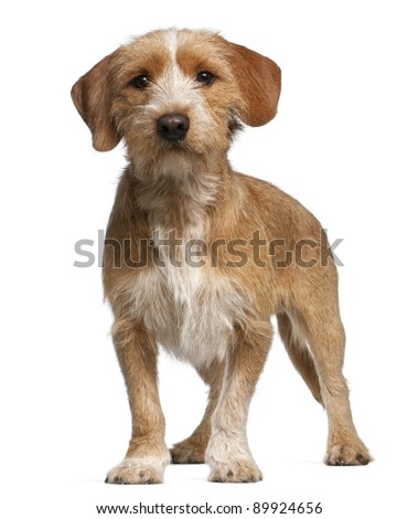 Basset Fauve de Bretagne, 1 year old, standing in front of white background - stock photo