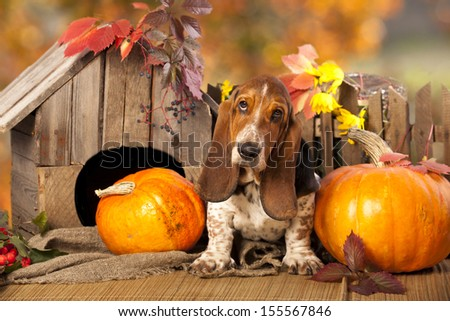 Basset Hound and pumpkin - stock photo