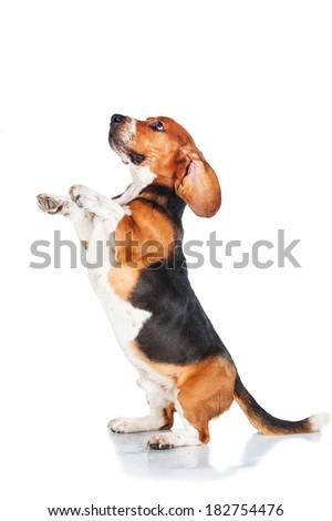 Basset hound begging isolated on white background - stock photo