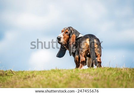 Basset hound dog looking back on the top of the hill - stock photo