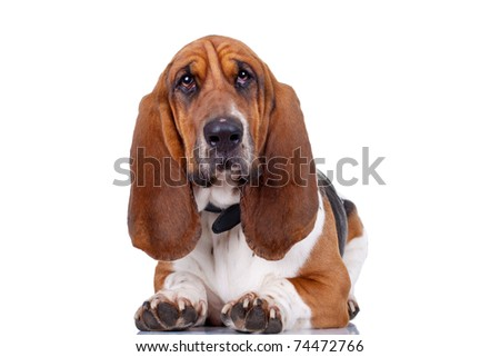 Basset Hound dog looking to the camera and and isolated on white - stock photo