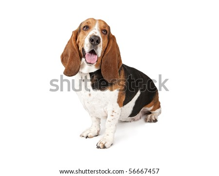 Basset Hound dog looking to the side and and isolated on white - stock photo