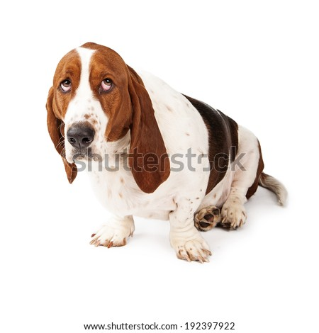 Basset Hound dog looking up with a guilty expression - stock photo