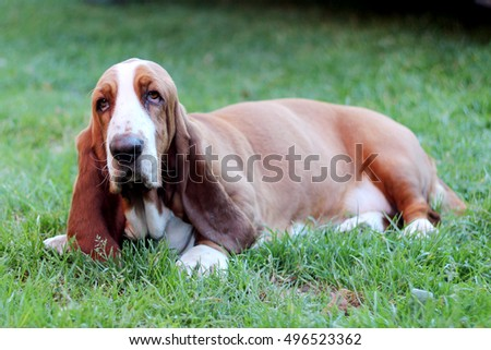 Basset hound dog portrait having a serious, yet funny cute look, domestic animal and friend