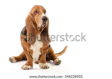 Basset Hound dog sitting on the white background and looking to the side - stock photo