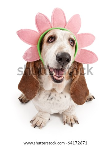 Basset Hound dog wearing a pink flower head band. Isolated on white. - stock photo