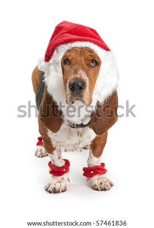 Basset Hound dog wearing a santa claus outfit. Isolated on white - stock photo