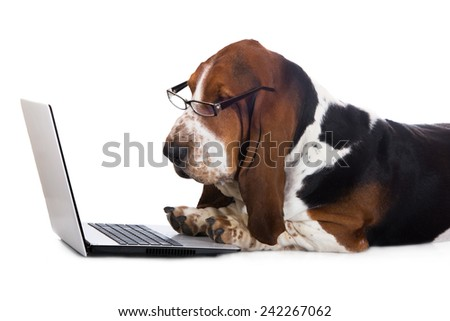 basset hound dog working on a computer - stock photo