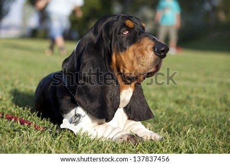Basset hound having a rest on the grass - stock photo